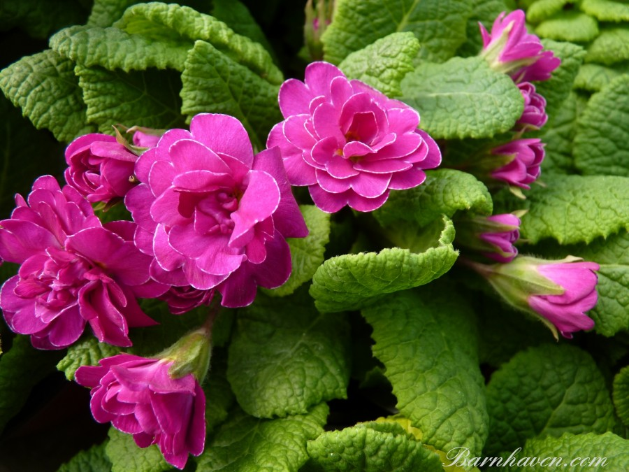 Primula MISS DORIS