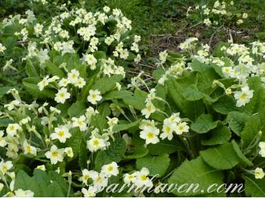 Common primrose
