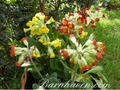 Primula veris 'Coronation cowslips'