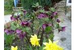 Dark Purple Hellebore