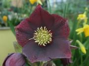 Helleborus x hybridus 'Barnhaven Hybrids' - Single Dark Purple Strain