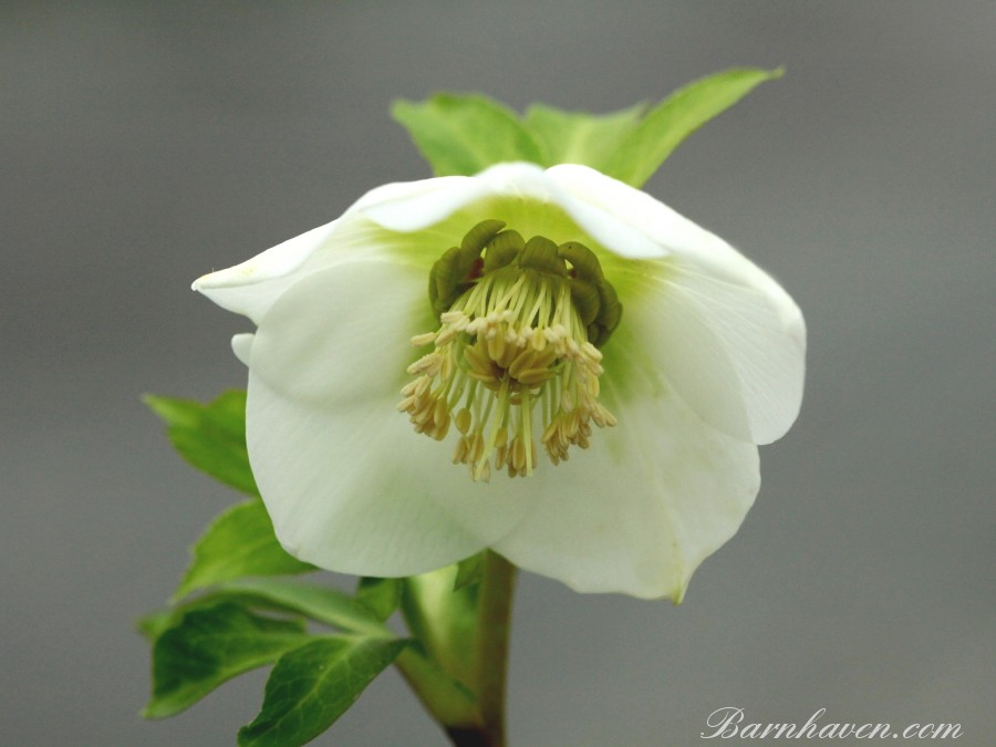 Helleborus x hybridus 'Hybrides de Barnhaven'  Crème/blanche