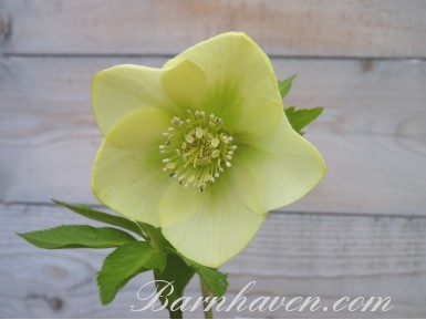 Helleborus x hybridus 'Hybrides de Barnhaven'  Jaune