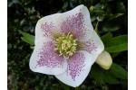 Helleborus x hybridus 'Hybrides de Barnhaven'   Guttatus blanc