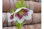 White hellebore pink spotted