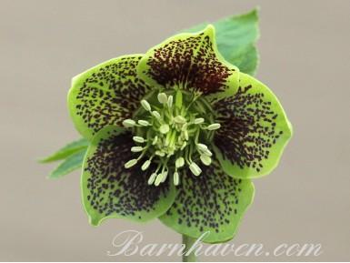 Helleborus x hybridus 'Hybrides de Barnhaven'  Guttatus vert