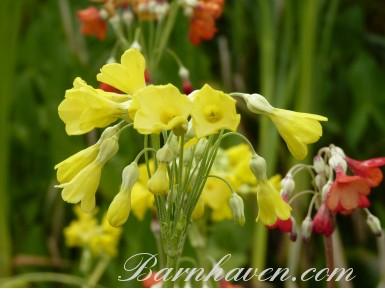 Primula florindae hybrids