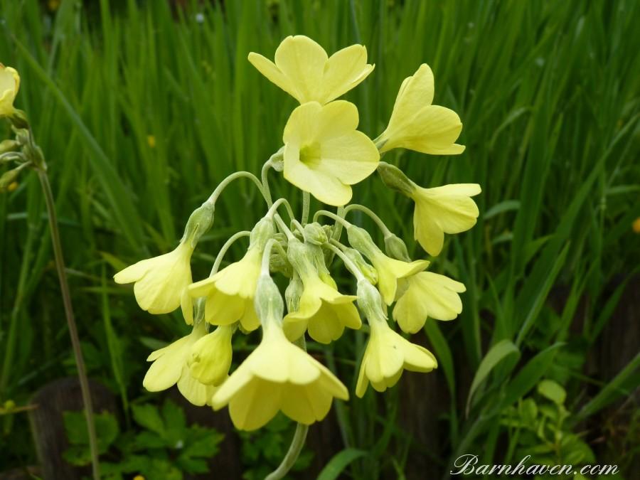 Primula sikkimensis