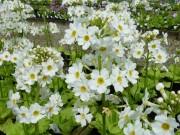 Primula  japonica 'Postford White'