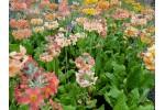 Primula japonica 'Oriental Sunrise'