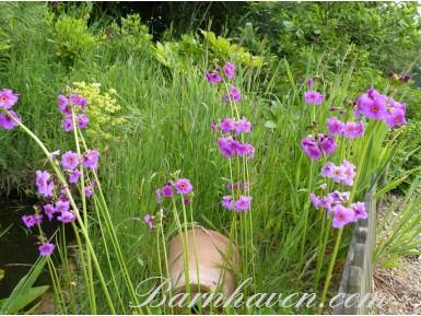 Primula wilsonii
