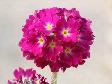 Primula denticulata - rot, lila