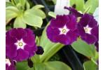 Primula pubescens HURSTWOOD MIDNIGHT