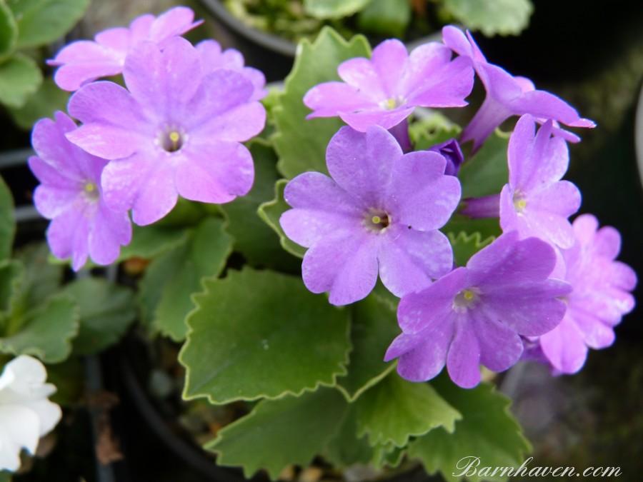 Primula pubescens FREEDOM