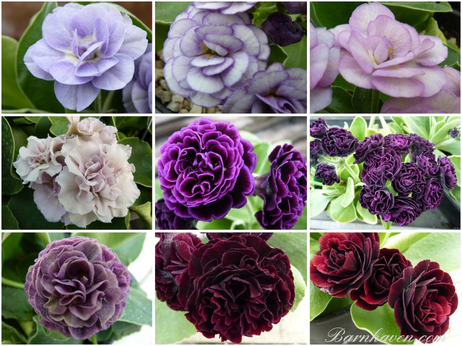 Primevères  AURICULES Double - (rouges, roses, violets)