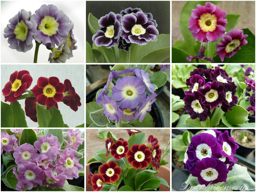 Primevères AURICULES de jardin  (rouge, rose, violet)
