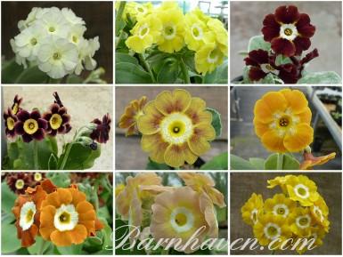 BARNHAVEN BORDER AURICULAS (yellows, creams, browns)