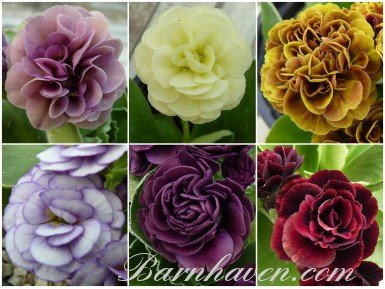 BARNHAVEN DOUBLE AURICULAS Plant collection