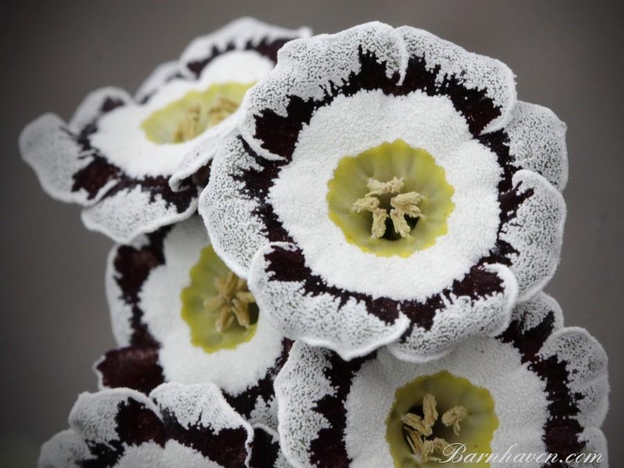 White-edges auricula HINTON ADMIRAL