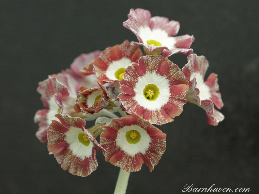 Striped auricula BLACKPOOL ROCK