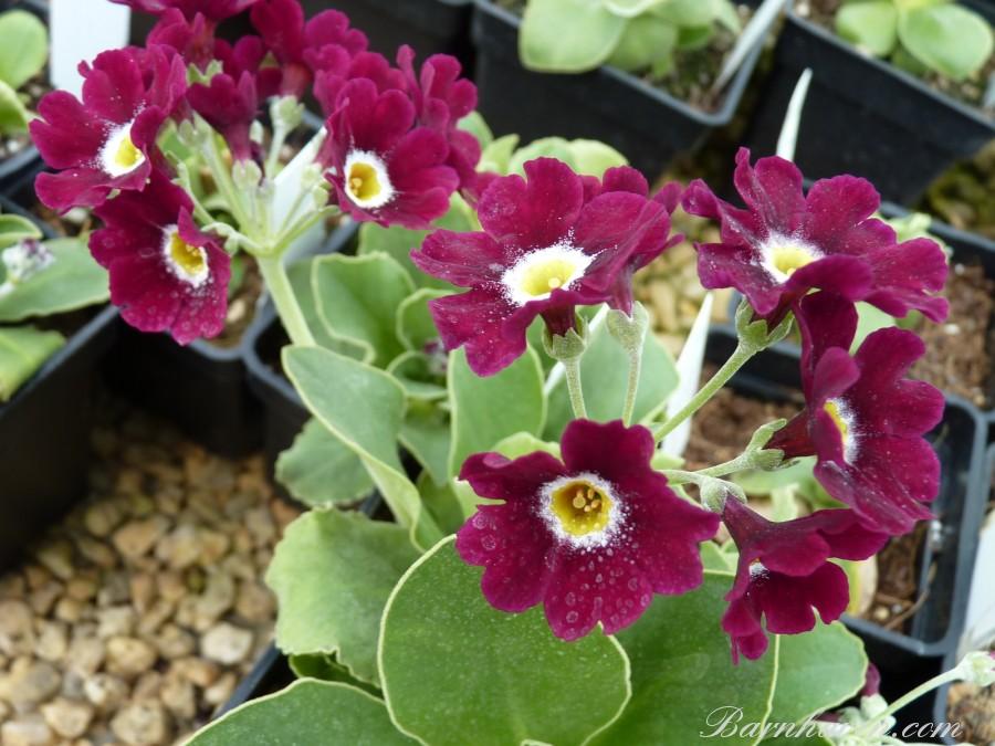 Red primrose RUFUS