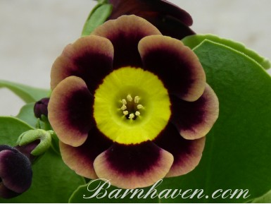 Alpine auricula OLD SMOKEY