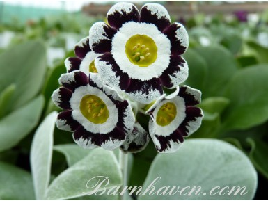 Edged Show  auricula BROOKFIELD