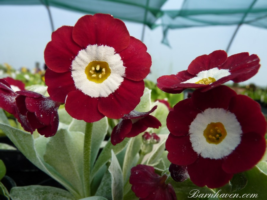 Show auricula THE BISHOP