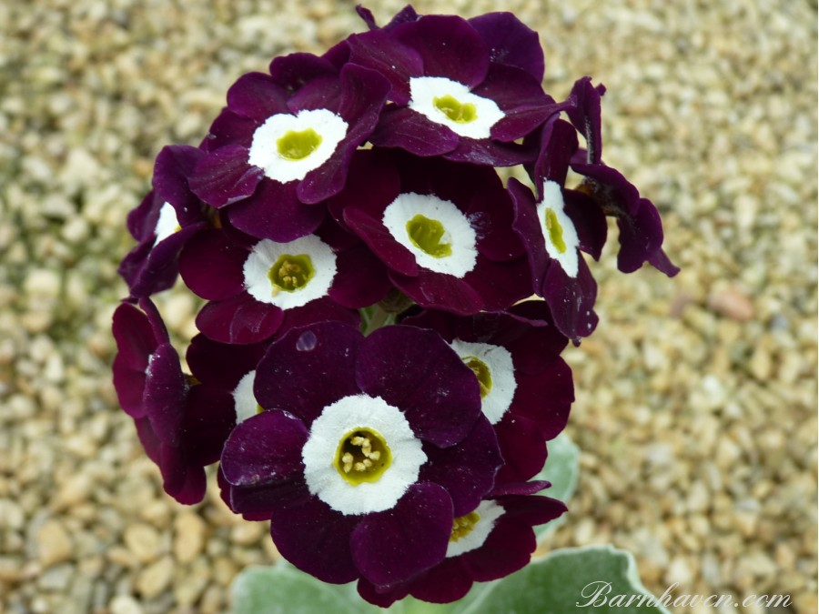 Primula auricula MARTIN LUTHER KING