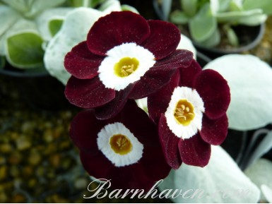Show self auricula GIZABROON