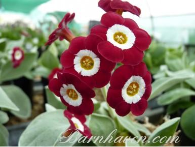 Aurikel SIMPLY RED