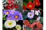 Primula JULIAE Pflanzensortiment