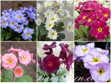 Primula JULIANA Plant collection