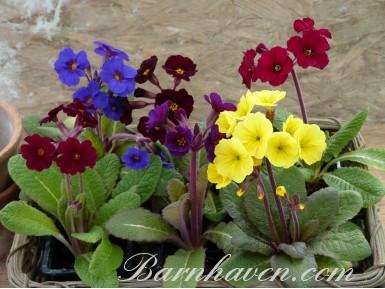 Primevère COWICHANS - Collection de plantes