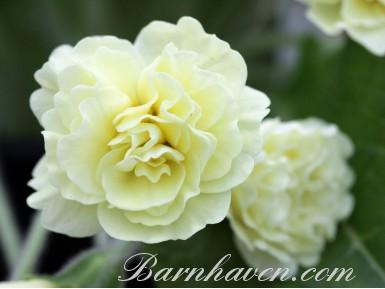 Double primrose VAL HORNCASTLE