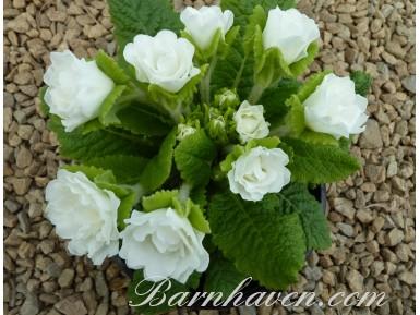 Double primrose DAWN ANSELL