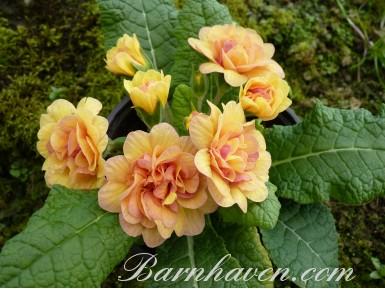 Double primrose SUNSHINE SUSIE