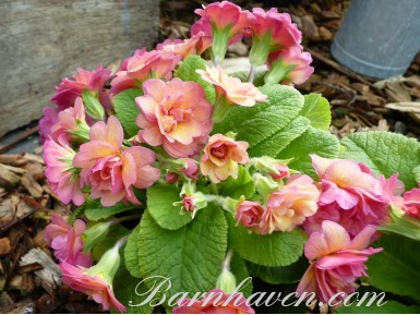 Double primrose KEN DEARMAN