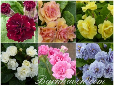 DOUBLES DE BARNHAVEN - Collection de plantes