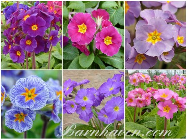 Primula VICTORIANS - Collection de plantes