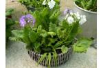 BARNHAVEN SIEBOLDII Plant collection