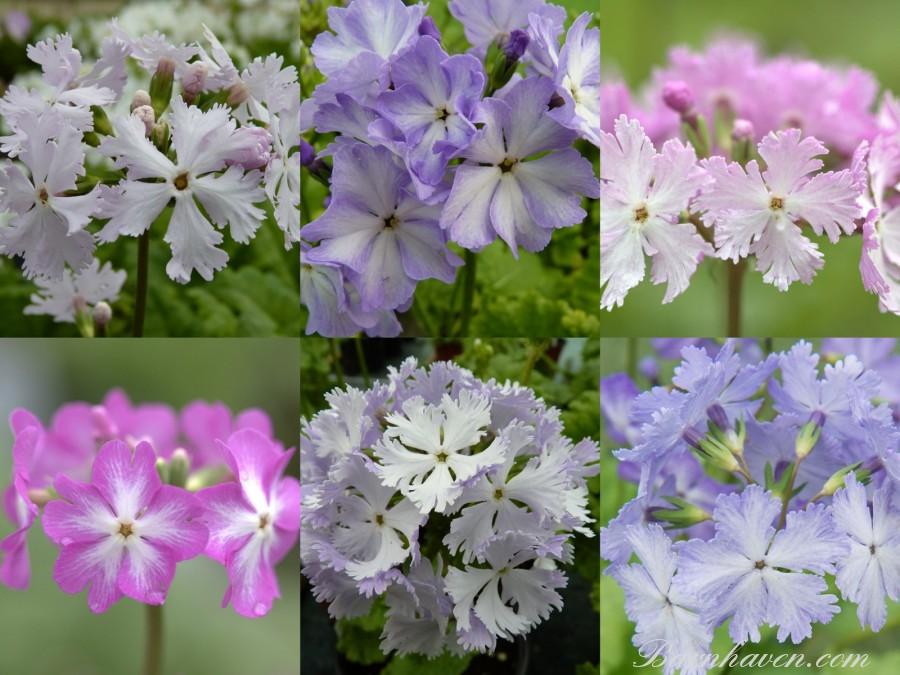 Primevère japonaise SIEBOLDII - Collection de plantes