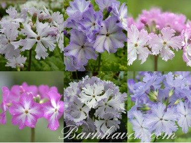 BARNHAVEN SIEBOLDII Plant collection