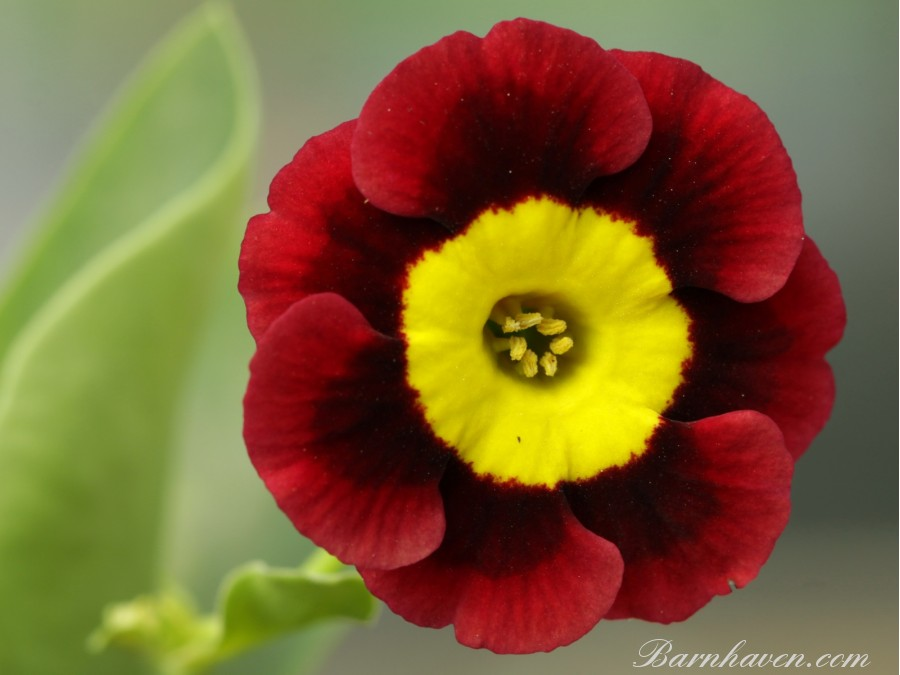 Alpine auricula RED MARK