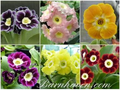 BARNHAVEN BORDER AURICULA Plant collection