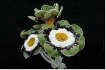 Green-edged auricula FIGARO