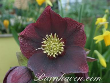 Helleborus x hybridus 'Hybrides de Barnhaven' - Pourpre Simple