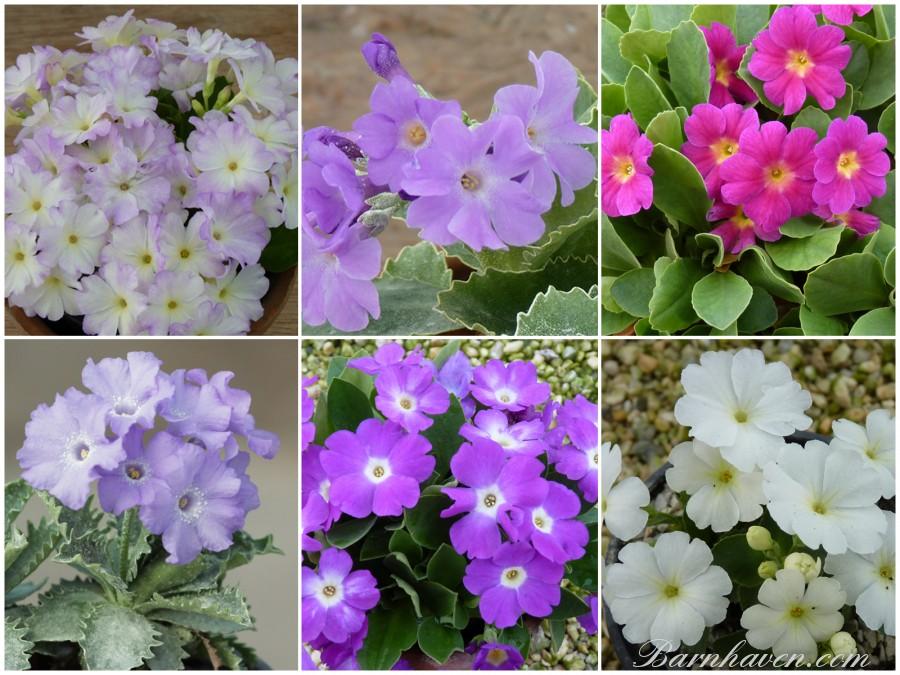 PRIMULA ALPINES - Collection de plantes