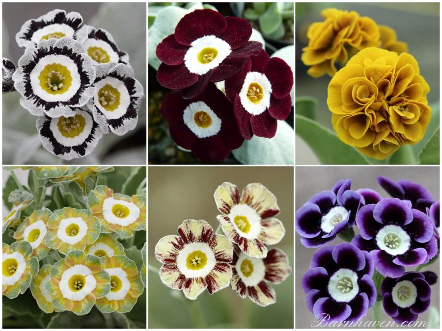 Primula auricula Collection de plantes