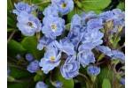 Primula BRITTANY BLUE